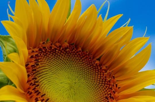 well being sunflower
